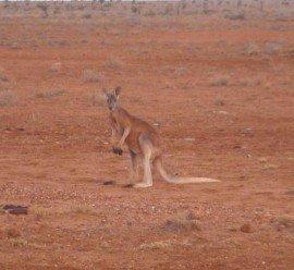 Im Straßenverkehr sind Kängurus nicht immer die schlausten Teilnehmer