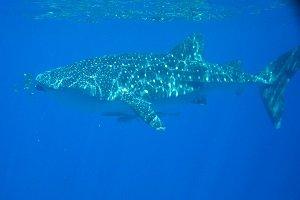 Zur Walhaisaison ist eine entsprechende Tour von Exmouth aus ein absolutes Muss.