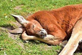 Schlafendes Känguruh
