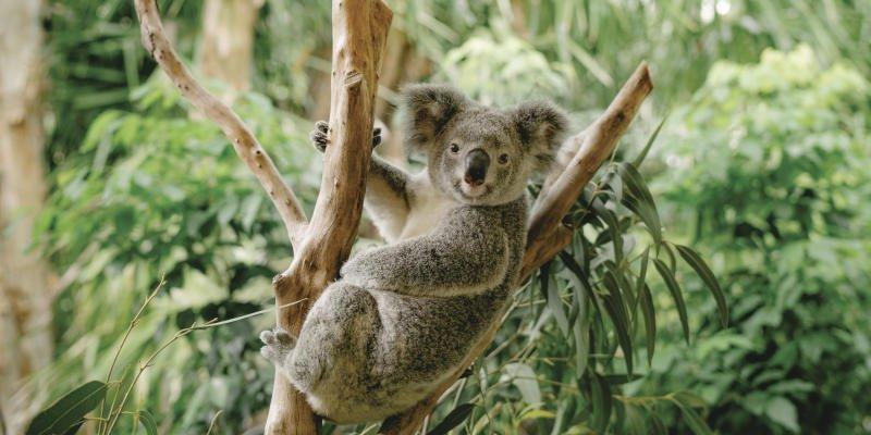 Koala in Queensland