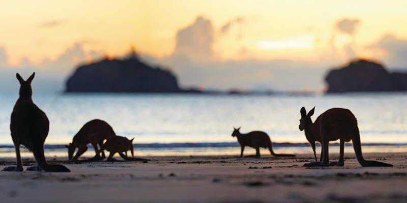 Kängurus an der Sunshine Coast