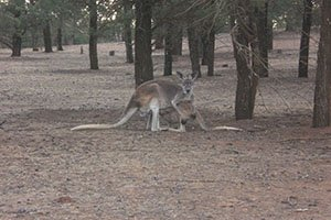 Riesenkänguru im Outback der Flinders Range