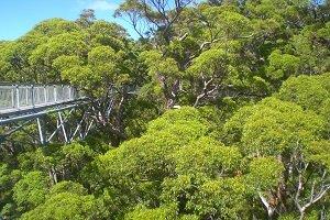 Beim Valley of the Giants kannst du über ein Gerüst durch die Baumwipfel der bis zu 60 Meter hohen Urwaldriesen laufen