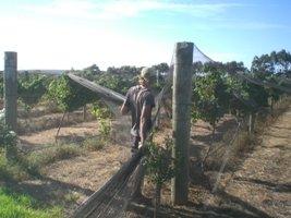 Netze werden zum Schutz vor Vögel über die Weinreben gerzogen